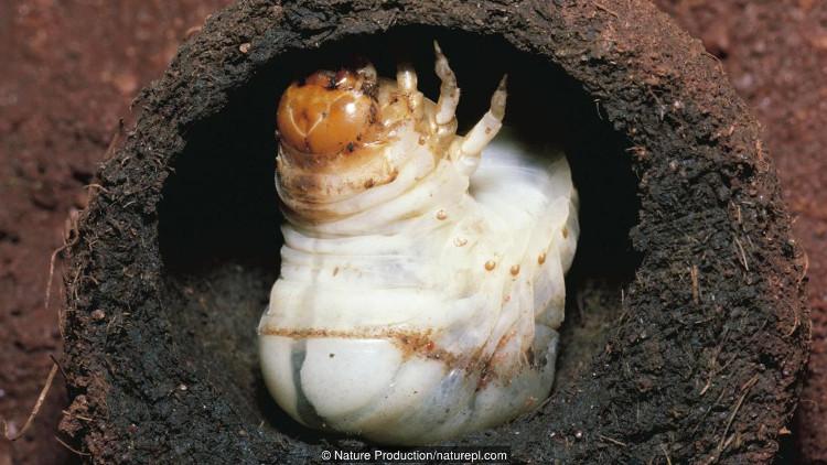 Ấu trùng bọ hung nằm trong hòn phân