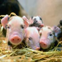 Không chỉ để làm thịt, loài lợn còn một mục đích cao cả hơn rất nhiều