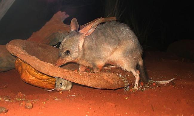 Chuột Greater Bilby sống tại những vùng đất khô cằn ở Australia
