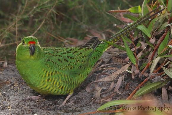 Vẹt đêm là loài chim bản địa ở Australia có thể sống trong môi trường khô hạn