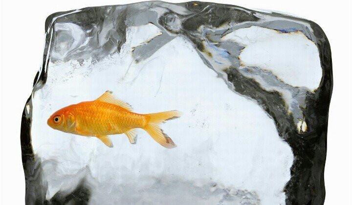 Cá vàng có khả năng sống sót trong nước băng.