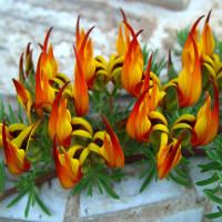 """""""Tận mục"""" vẻ đẹp của một trong những loài hoa hiếm bậc nhất thế giới"""