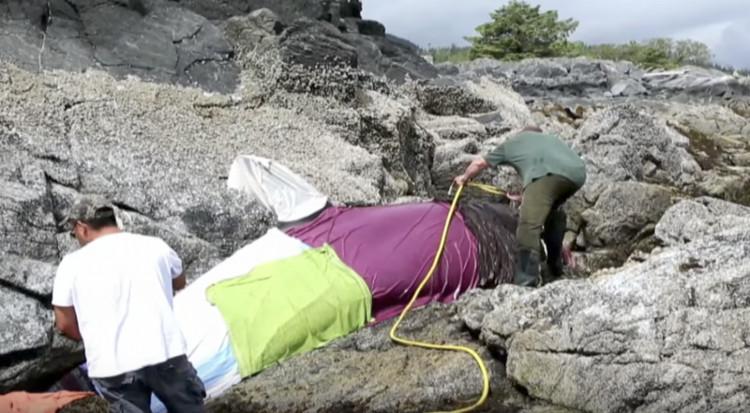 Những người cứu hộ nhanh chóng che phủ nó bằng một tấm chăn nhúng nước biển.