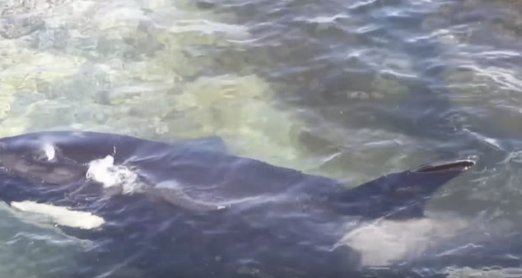 Thủy triều lên, con cá voi sát thủ thoát khỏi cái bẫy mà hầu như không bị tổn thương.