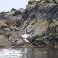 Cá voi khóc vì mắc cạn, hành động của người dân khiến ai nấy đều khâm phục