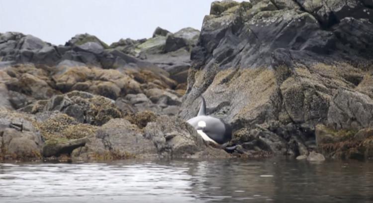 Cá voi khóc vì mắc cạn và phản ứng của người dân khiến ai nấy đều kinh ngạc.