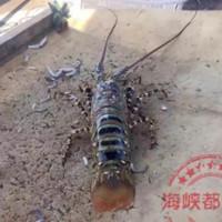 Trung Quốc: Bắt được tôm hùm khổng lồ dài 1,5m, cực kỳ quý hiếm