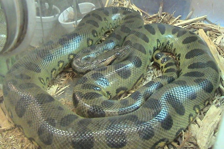 Trăn Anaconda xanh.