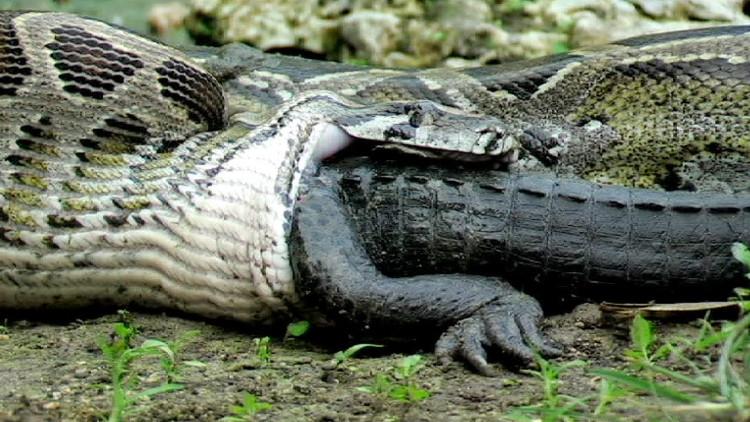 Anaconda là loài tương đối nhút nhát - ít nhất là với con người.