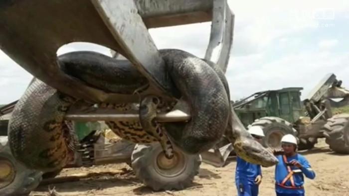 Con trăn Medusa được tìm thấy tại Nam Mỹ vào năm 2016.