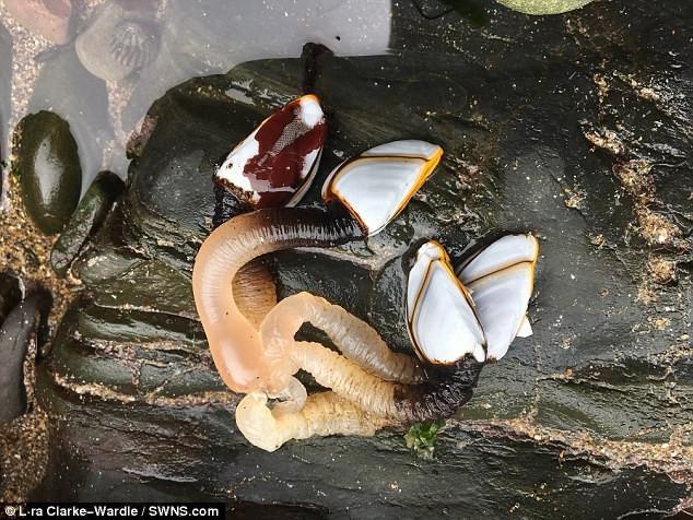 Giống hàu này thuộc loài giáp xác.