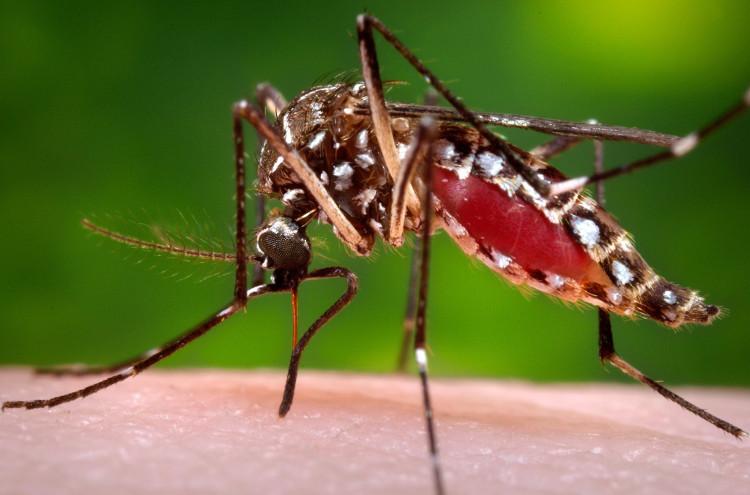Muỗi vằn Aedes có phần chân, thân bụng với khoang đen trắng rõ rệt.