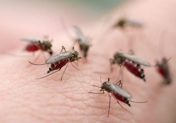 Muỗi vằn Aedes aegypti chính là trung gian truyền bệnh sốt xuất huyết.