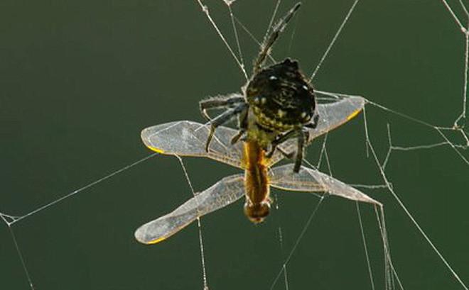 Loài nhện thân cây Darwin