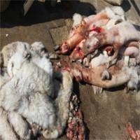 Sự thật tàn ác trần trụi trong các lò nuôi của ngành công nghiệp lông thú