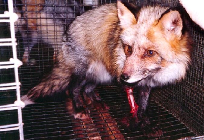 Các loài thú được nuôi lấy lông nhiều nhất là chồn và cáo.