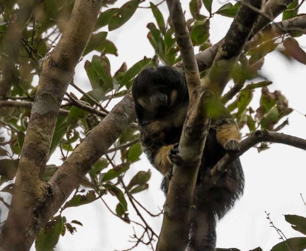 Khỉ Vanzolini lần đầu được xác định vào năm 1936