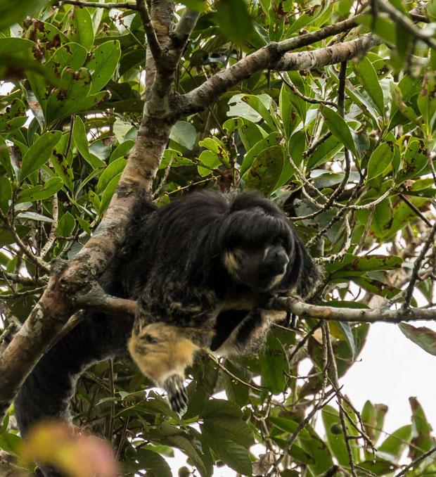 Lần cuối cùng có người nhìn thấy khỉ saki Vanzolini là vào năm 1956