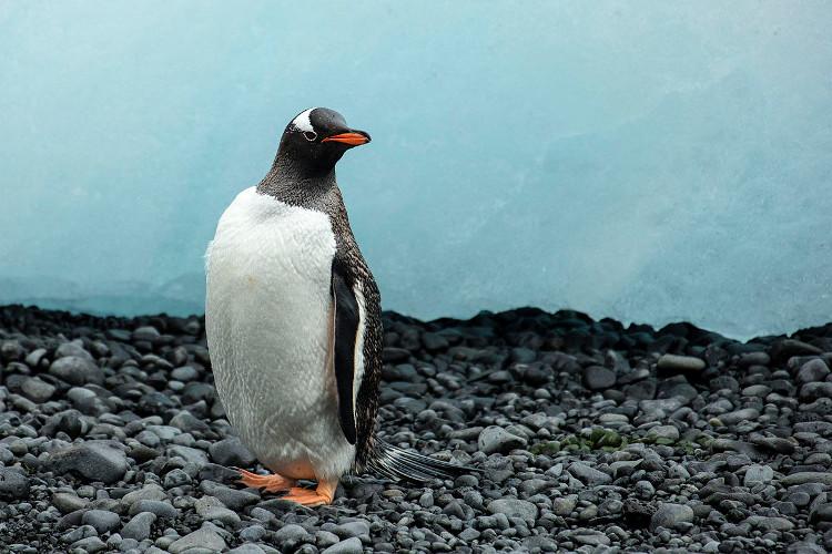 Hơn nửa số chim cánh cụt đã tụ hợp lại thành nhóm trong khoảng một phút để lắng nghe tiếng kêu của đồng loại.