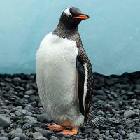 Sự thật bất ngờ về loài chim cánh cụt Gentoo