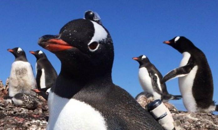 Chim cánh cụt Gentoo tập trung sống thành quần thể lớn lên đến 30.000 cặp cá thể.