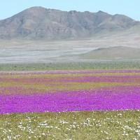 Sa mạc khô cằn nhất thế giới biến thành biển hoa muôn màu