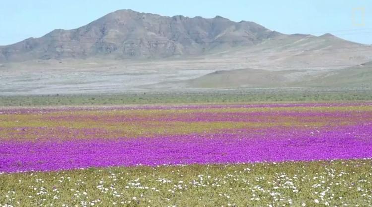 Sa mạc Atacama phủ đầy hoa.