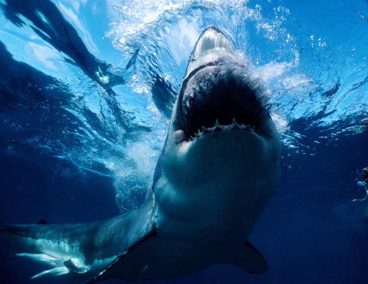 """Cá mập trắng là """"hậu duệ xuất sắc"""" của Megalodon."""