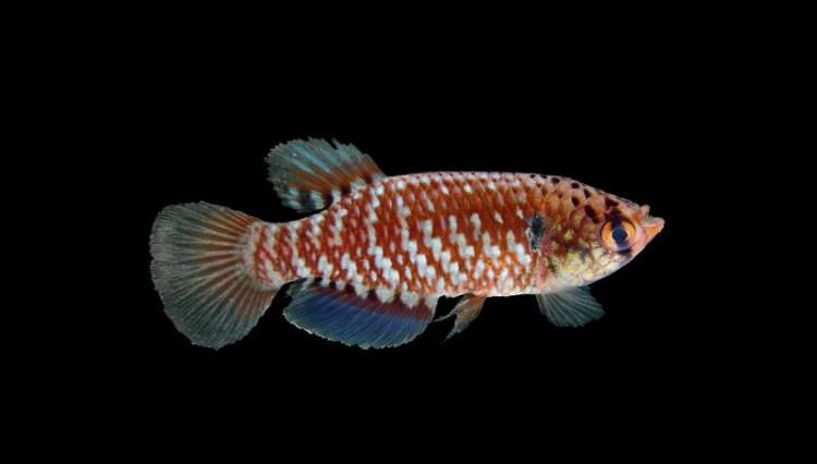 Một loại cá mới được phát hiện ở Amazon.