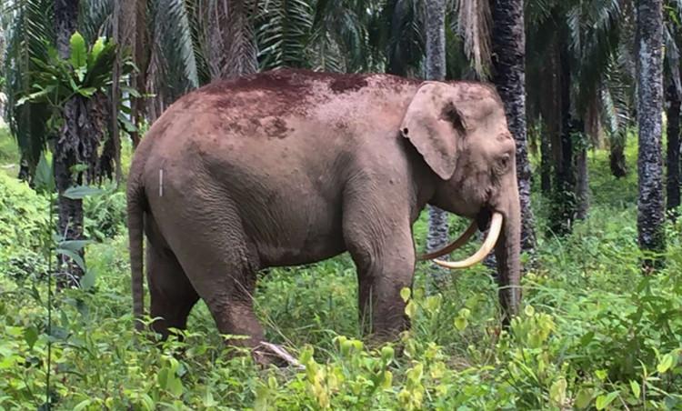 Voi răng kiếm Pygmy là một trong những loài động vật từng sinh sống trên đảo Wallacea.