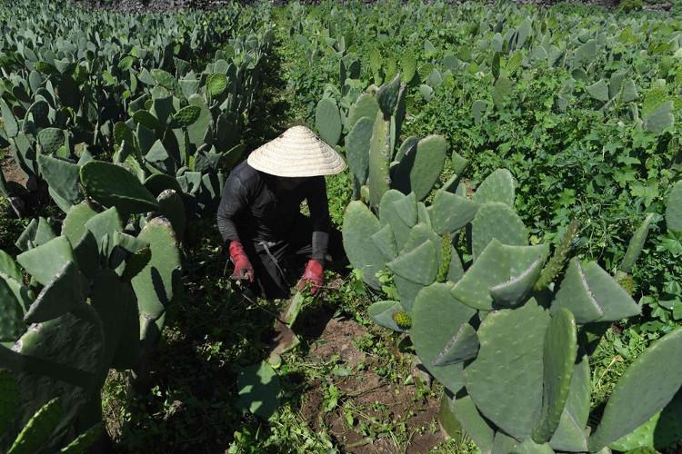 Nông dân Mexico đang thu hoạch xương rồng.