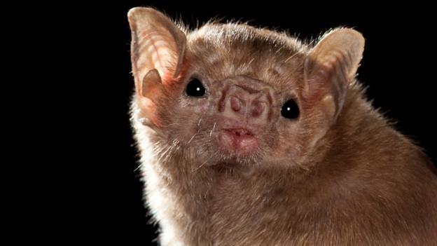 Loài dơi quỷ thông thường lấy thức ăn từ động vật có vú