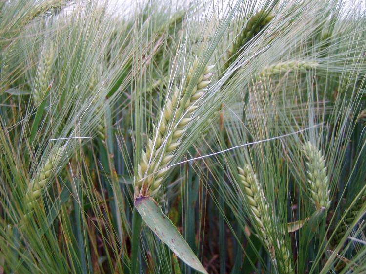 Đây là cây lương thực được trồng để sản xuất mạch nha và nuôi gia cầm