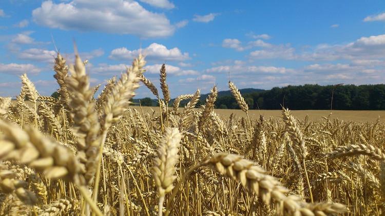 Lúa mì là thực phẩm quan trọng cho loài người.