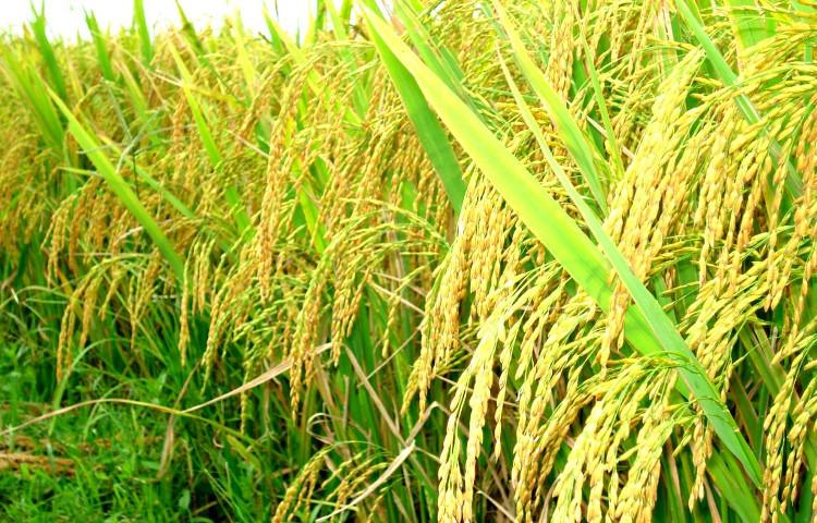 Lúa nước là một trong năm loại cây lương thực chính của thế giới