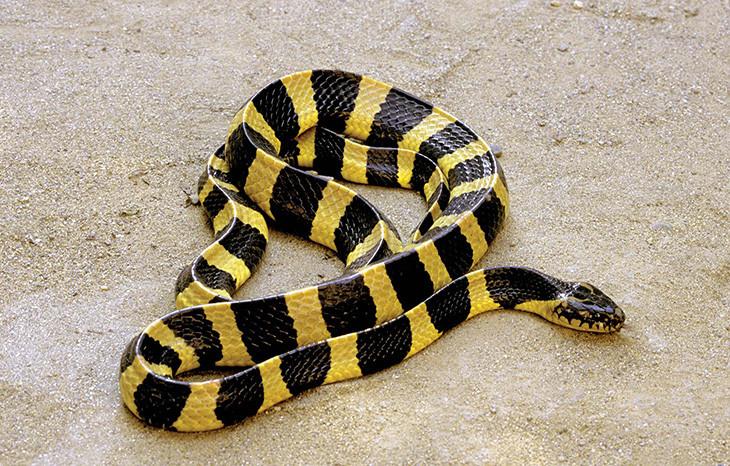 Rắn cạp nong cực độc nhưng đầu lại có hình dạng giống loài rắn không độc.