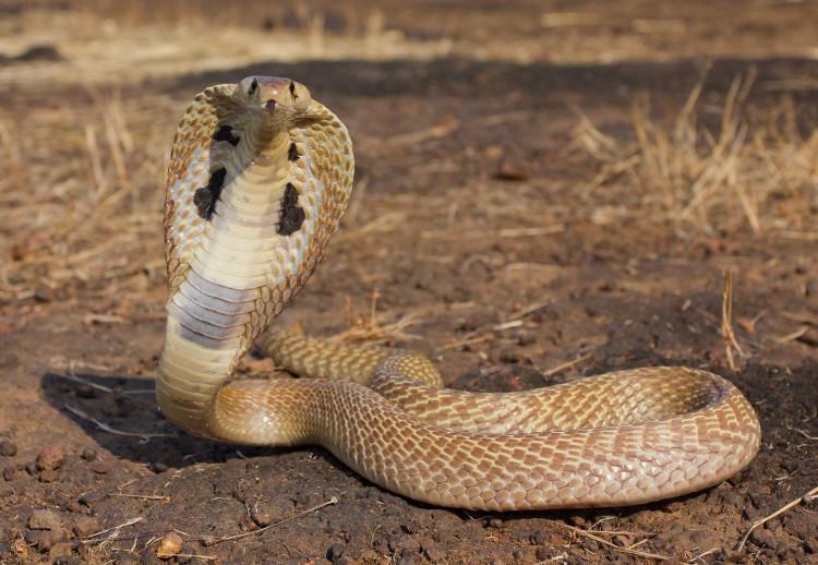 Cách phân biệt rắn độc và rắn không độc - KhoaHoc.tv