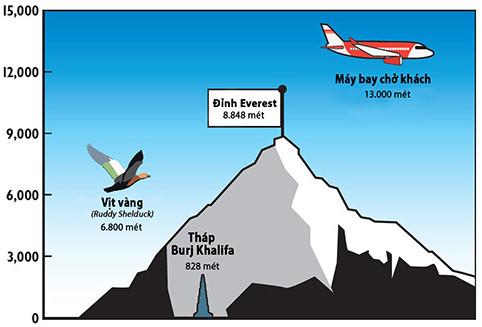 Vịt vàng phải bay vượt núi Himalaya vào mùa xuân để đến được vùng đất sinh sản của chúng.