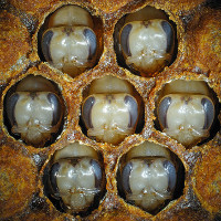 """Tìm ra """"bí mật"""" khiến ong mật thành ong chúa"""