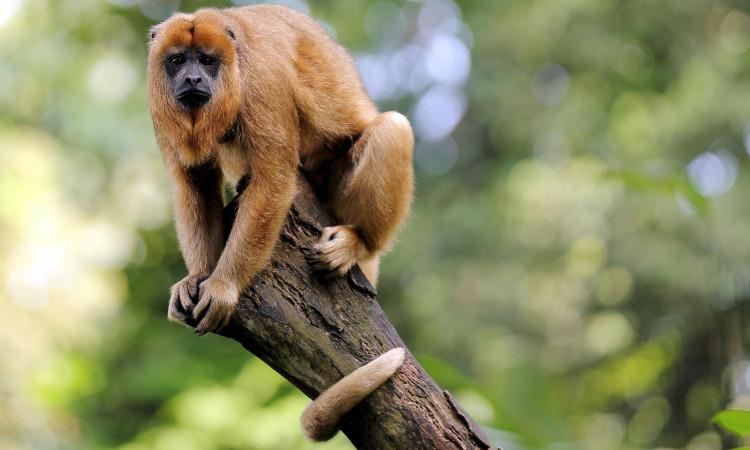 Ký sinh trùng sốt rét đã lây lan từ khỉ sang người.