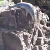 Đàn hải cẩu lao xuống vách đá vì sợ người