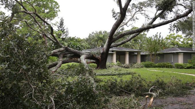 Một cây sồi ở Tampa bị chẻ đôi do bão Irma.