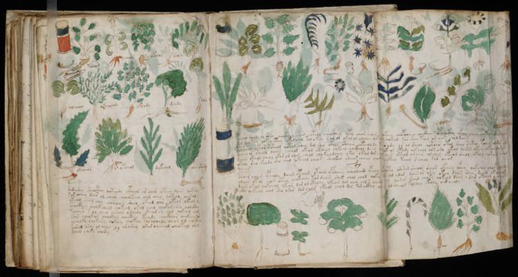 Hình vẽ thực vật trong bản thảo Voynich.