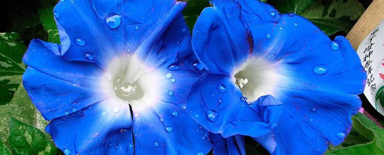 Loài hoa tham gia thí nghiệm chỉnh sửa gene.