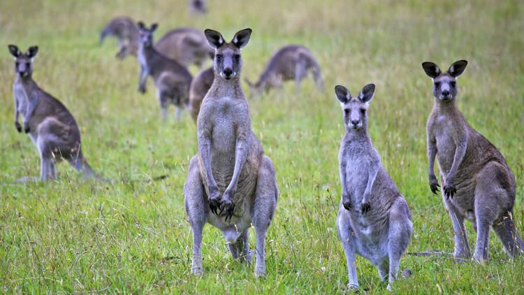 Số lượng kangaroo tăng vượt mức kiểm soát tại Australia.