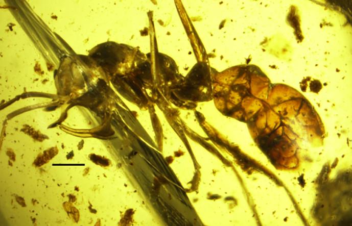 Xác kiến hút máu kẹt trong khối hổ phách 98 triệu năm.