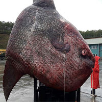 Bắt được cá mặt trăng khổng lồ nặng 1,1 tấn ở Nga