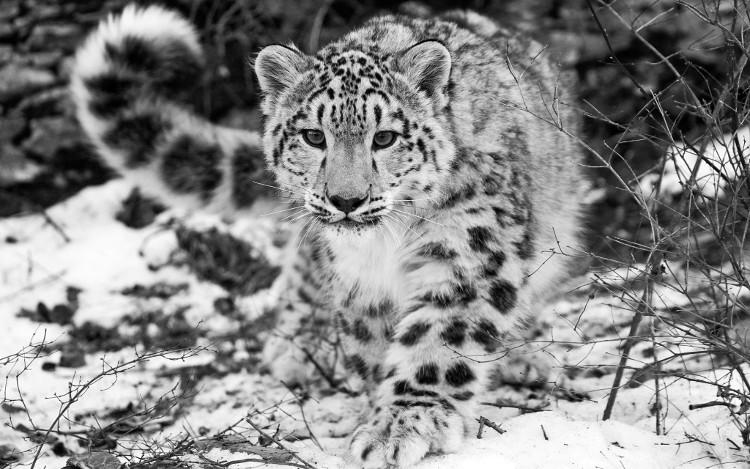 Báo tuyết - sinh vật tuyệt đẹp của Himalaya đã được gạch tên trong Sách Đỏ.