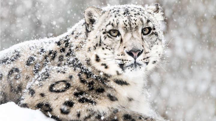 Hiện tại có ít nhất 4.000 báo tuyết trưởng thành đang thống trị đỉnh Himalaya.