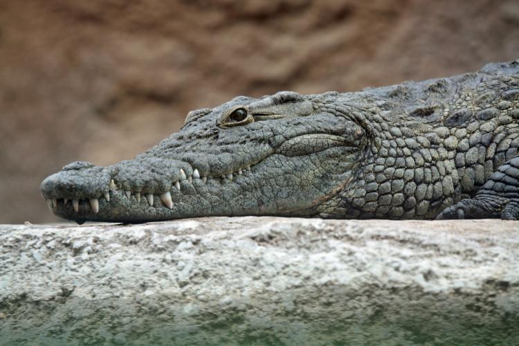 Ig Nobel Kinh tế: Nuôi cá sấu có thể ảnh hưởng đến máu cờ bạc của người nuôi